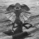 The Frilled Lizard of Australia Opening Its Frill to Ward Off Intruders Photographic Print by Fritz Goro