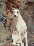 Portrait of Whippet Chosen Best in Show at the 88th Annual Westminster Kennel Club Dog Show Photographic Print by Nina Leen