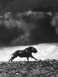 Musk Oxen Hunt in Arctic Tundra, Lone Musk Ox Running Widely from Hunters Premium Photographic Print by Fritz Goro