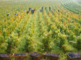 Overall View of French Vineyard During Harvest in Cote de Nuits Section of Burgundy Lmina fotogrfica de primera calidad por Carlo Bavagnoli