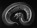 Skeleton of a 4 Foot Long Gaboon Viper, Showing 160 Pairs of Movable Ribs Premium Photographic Print by Andreas Feininger