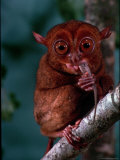 Tarsier Found on Several Islands in Southeast Asia Eating a Gecko Premium Photographic Print by Larry Burrows