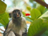 Red Colobus Monkey Sitting in Tree in Natural Habitat Lmina fotogrfica de primera calidad por Carlo Bavagnoli