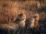 Mother Cheetah and Her Cub in Game Preserve in Africa Premium Photographic Print by John Dominis
