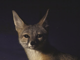 Northern Kit Fox Shown in Captivity, None May Exist in the Wild, Vanishing Species Premium Photographic Print by Nina Leen