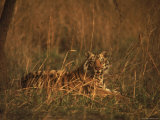 Male Tiger Takes a Morning Rest in the Grass, Kanha National Park Premium Photographic Print by Stan Wayman
