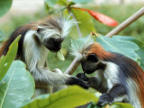 Red Colubus Monkeys Sitting in Tree Sharing Food Premium Photographic Print by Carlo Bavagnoli