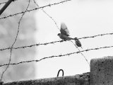 Sparrow Landing on Barbed Wire Atop the Berlin Wall Premium Photographic Print by Paul Schutzer