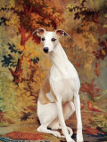 Portrait of Whippet Chosen Best in Show at the 88th Annual Westminster Kennel Club Dog Show Premium Photographic Print by Nina Leen