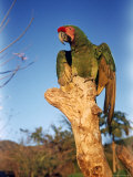 Military Macaw Premium Photographic Print by Eliot Elisofon