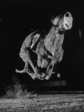 Muzzled Greyhound Captured at Full Speed by High Speed Camera in Race at Wonderland Track Photographic Print by Gjon Mili