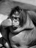 Sandra the Orangutan with Cheek Resting on Hand and Thoughtful Expression, at the Bronx Zoo Premium Photographic Print by Nina Leen