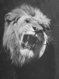 Mounted Head of the MGM Movie Studio Trademark Photographic Print by Walter Sanders