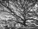 View of a Monkey Pod Tree Premium Photographic Print by Eliot Elisofon