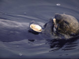 Sea Otter Lying on Back in Oil Polluted Water Eating Clam That is Resting on His Stomach Premium Photographic Print by Stan Wayman