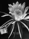 View of a Night Blooming Cereus Blooming at 12:00 AM Premium Photographic Print by Eliot Elisofon