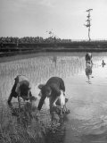 Women Working in Rice Paddies Premium Photographic Print by John Florea