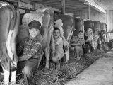 Row of Cows' Rumps, with Fat Cheeked Family of Six Milking Them, in Neat Cow Barn Fotoprint van Alfred Eisenstaedt