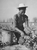 Young African American Sharecropper Woman Picking Peas in a Field on Farm Photographic Print by Andreas Feininger