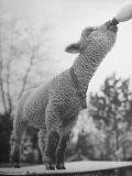 Sheep Drinking from a Bottle Premium fotoprint van Wallace Kirkland