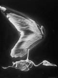 Skeletal Structure of a Bird Premium Photographic Print by Andreas Feininger