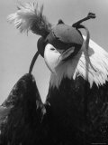 Trained Bald Eagle Wearing a Falcon Hood Premium Photographic Print by J. R. Eyerman