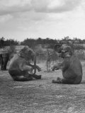 Vacationing Elephants Resting Up For Circus Season Premium Photographic Print by Cornell Capa