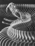 Skeletal Structure of a Viper Snake Premium Photographic Print by Andreas Feininger