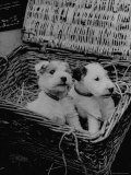 Puppies Sitting in Basket at Club Row Pet Market Premium Photographic Print by Tony Linck