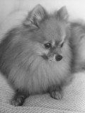 Pomeranian Photographic Print by Alfred Eisenstaedt