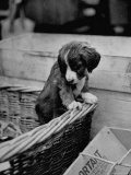 Puppy Peeking Out of Basket at Club Row Pet Market Premium Photographic Print by Tony Linck