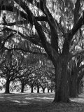 Oak Trees with Spanish Moss Hanging from Their Branches Lining a Southern Dirt Road Fotoprint van Alfred Eisenstaedt