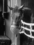Race Horse Wearing Wire Muzzle to Prevent It from Eating Loose Hay Just Before Race Premium Photographic Print by Hank Walker