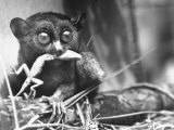 Tarsiers an Animal Native to Indonesia and Philippines Eating a Lizard Alive Photographic Print by Sam Shere