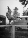 Rooster Crowing on Fence Premium Photographic Print by Hank Walker
