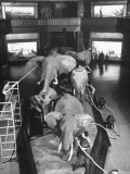 Museum Attendants Cleaning Elephants in the New York Museum Exhibits プレミアム写真プリント : ジャック・バーンズ