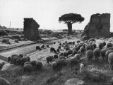 Sheep Grazing Near Ruins on the Appian Way Outside of Rome Premium Photographic Print by Alfred Eisenstaedt