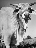Osrigo Manso, National Champion Brahmin Bull Premium Photographic Print by Cornell Capa