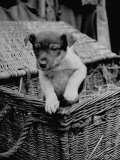 Puppy Peeking Out from Basket at Club Row Pet Market Premium Photographic Print by Tony Linck