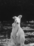Part of a Herd of 40 Albino Kangaroos Premium Photographic Print by Larry Burrows