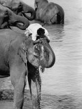 Sharing a Trunkful of Water with His Elephant, a Mahout Refreshes Himself During a Working Day Premium Photographic Print by Hank Walker