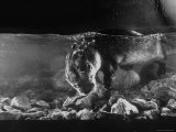 Pet Otter Diving For Frog at Mealtime Photographic Print by Wallace Kirkland