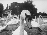 Swans Swimming on Avon River in Front of Stratford Theatre of the Royal Shakespeare Company Premium Photographic Print by Hank Walker