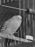 The Australian Grass Parakeet, Also Known as the Love Bird Premium Photographic Print by Alfred Eisenstaedt
