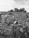 Workers During the Harvest Season Picking Grapes by Hand in the Field For the Wine Premium Photographic Print by Thomas D. Mcavoy