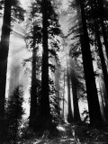 Sunlight Shining Through California Redwoods Premium-Fotodruck von Grey Villet