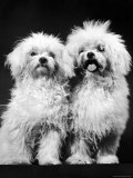 Tibetan Terrier Dogs Photographic Print by Hank Walker