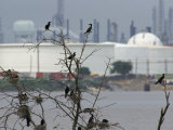 Cormorants Nest Near an Oil Refinery in Houston, Texas Photographic Print by Joel Sartore