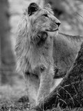 Lion Standing Erect Beside a Large Tree While Looking to the Rear Premium Photographic Print by Terence Spencer