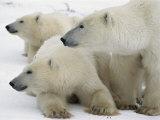 A Portrait of a Polar Bear Mother and Her Cubs Lámina fotográfica por Norbert Rosing